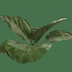 Elephant Ear Green Bush