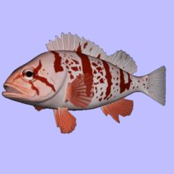 Rockfish Tigerfish Animated