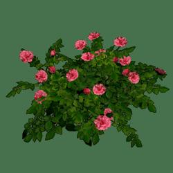 Rose Bush - Pink