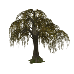 Weeping Willow_Fall