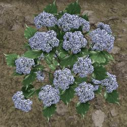 HYDRANGEA_PLANT_BLUE