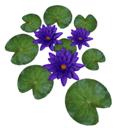 Plant Waterlily Purlple