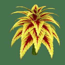 Coleus Plant 13