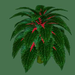 Coleus Plant 8