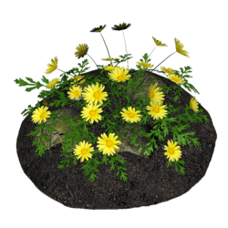 Yellow Daisies with Rocks and Soil