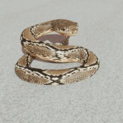 Animals - Rattle Snake