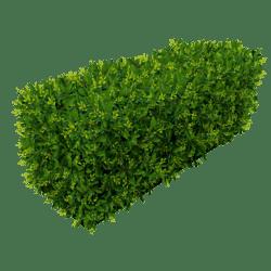 Hedge - Spring