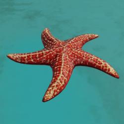 Starfish Red (detailed)