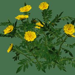 Marigold Bush 1