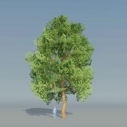 Maple Tree Green 4