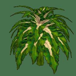 Coleus Plant 1