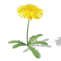 Large Dandelion