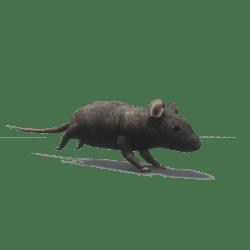 Rat [Animated]
