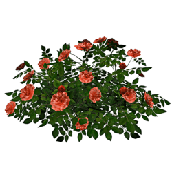 Rose Bush 5_Apricot