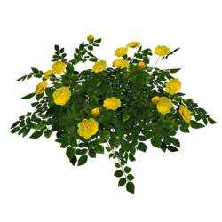 Rose Bush - Yellow