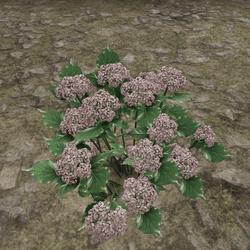 HYDRANGEA_PLANT_ROSE