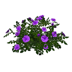 Rose Bush 5_Lavender