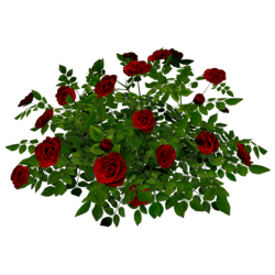 Rose Bush 5_Red