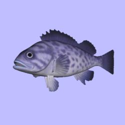 Rockfish Blue Animated