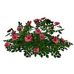 Rose Bush 5_Pink