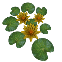Plant Waterlilly Yellow