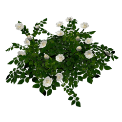 Rose Bush - White