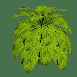 Coleus Plant 10