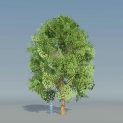 Maple Tree Green 1