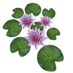 Plant Waterlily Pink