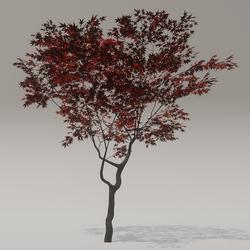 SKYE Red Leafed Acer