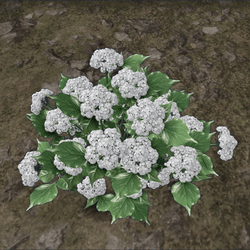 HYDRANGEA_PLANT_WHITE