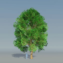 Maple Tree Dark Green 1