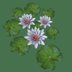 Plant Waterlily Pink Gradient