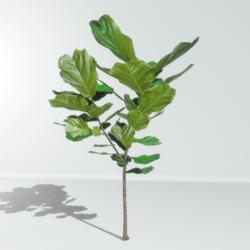 Fiddle leaf fig tree - Ficus lyrata