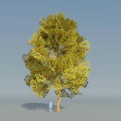 Maple Tree Autumn 2