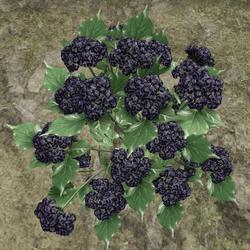 HYDRANGEA_PLANT_VIOLET