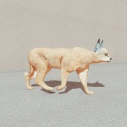 Animals - Caracal