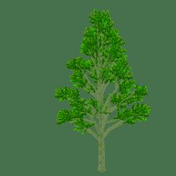 Maple Tree - SUMMER