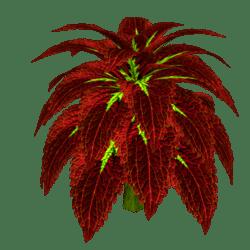 Coleus Plant 7