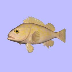 Rockfish Canary Animated