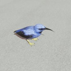 Animals - Paradise bird