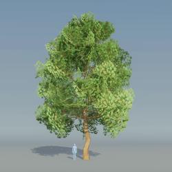 Maple Tree Green 5